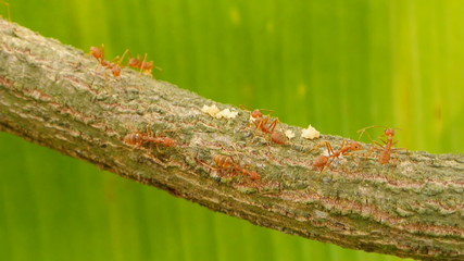 Ants walking on branch