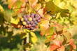 autumn season in vineyard