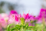 Pink Flowers With Whiskers poster