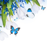 White tulips with blue grass and  butterfly. Floral background.