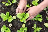 Fototapety Planting vegetable garden