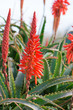 aloe arborescens flowering