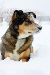 German Shepherd Dog Laying Outisde in the Snow