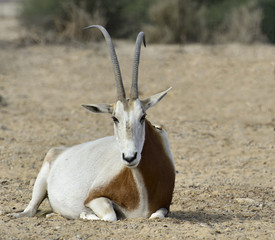 Sahara Oryx in National reserve park, 30 km north of Eilat