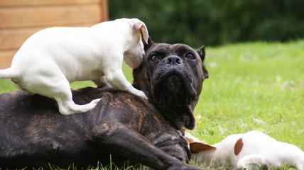 Cane corso et Jack Russell terrier