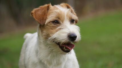 Portrait Jack Russell Terrier