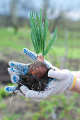 Garden harvest - onion. Healthy food