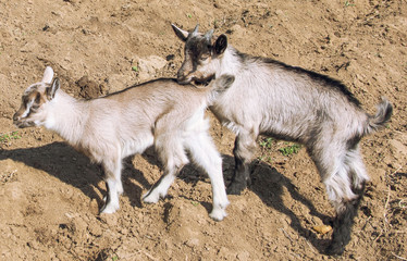 Ttwo cute goatling outdoors
