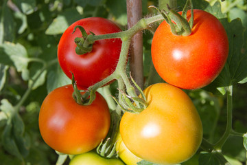 Ripening tomatoes on the vine.