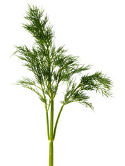 Green dill weed