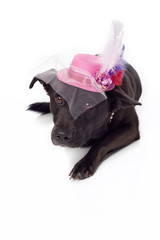 Black Mixed Breed Dog with Fancy Fascinator Hat