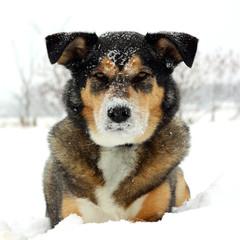 German Shepherd Dog Laying in Snow