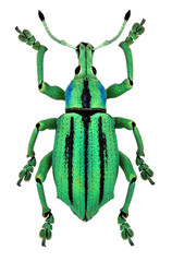 azure exotic weevil (Eupholus cuvieri) isolated