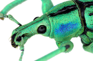 Close up of azure weevil Eupholus cuvieri