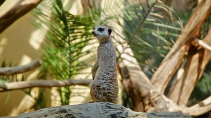 Meerkat (Surikate) standing upright