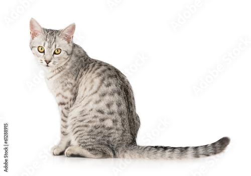 Foto op Aluminium Kat gray cat