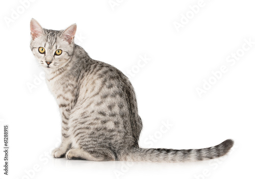 Spoed canvasdoek 2cm dik Kat gray cat