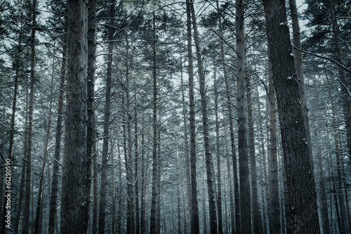 Frozen winter pine forest