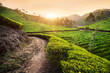 Tea plantations at sunset