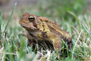 Toad in Grass