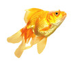 Gold Fish isolated
