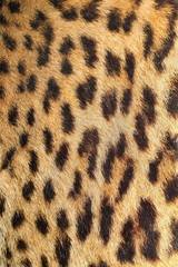 leopard colorful fur real texture