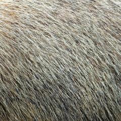 marmot textured fur