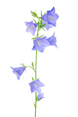 bluebell flower is isolated on a white background