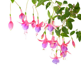 blossoming branch lilac of a fuchsia, isolated on white backgrou
