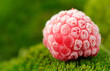 Frozen Red Raspberry on Green Moss Close-Up