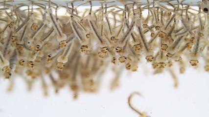 Mosquito's larva in water.