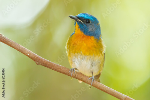 Chinese Blue Flycatcher(Cyornis glaucicomans)  in nature