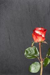 Rote Rose auf Schiefer