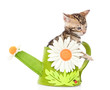 Bengal kitten in a toy watering can. isolated on white