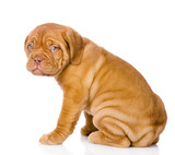 Bordeaux puppy dog. isolated on white background