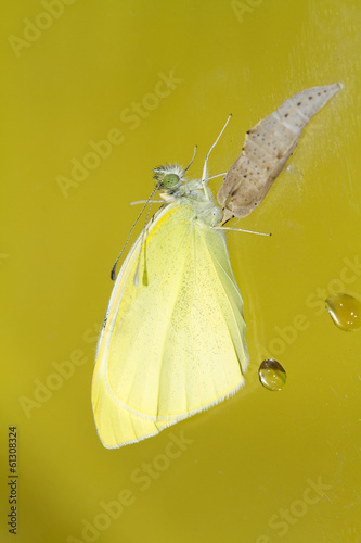 Cabbage butterfly ( Pieris brassicae) came out of cocoon