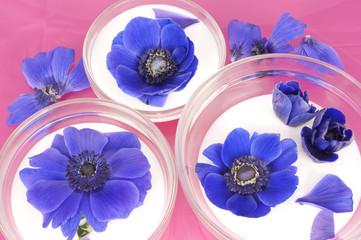 Blue Anemones in buttermilk on pink background