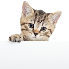 Cat kitten hanging over blank poster or board,  isolated on whit