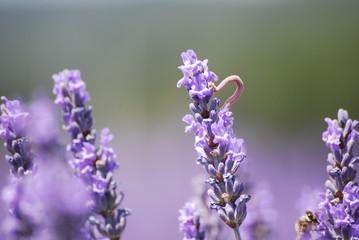Wurm im Lavendelfeld