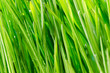 canvas print picture - grass