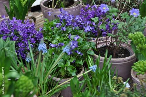 blaue fr hlingsblumen von stihl024 lizenzfreies foto 61311975 auf