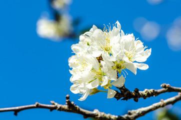 White Wild Himalayan Cherry