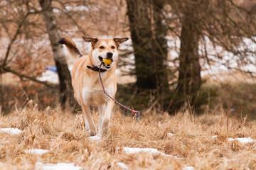 Mutt of Labrador and German Shepherd