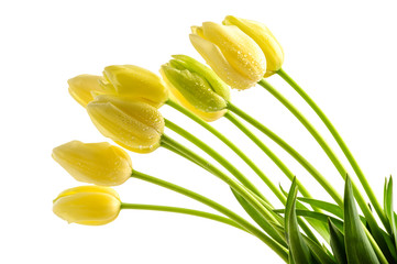 Yellow tulips flowers with long stalk