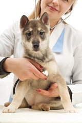 husky puppy vet listening through a stethoscope