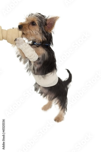 Bandaged yorkshire terrier puppy on a bone