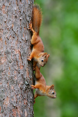 Young squirrels