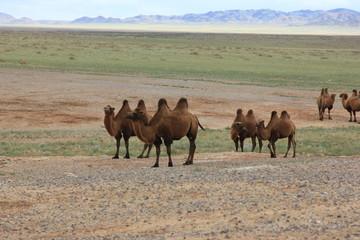 Верблюды пасуться