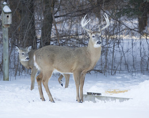 Big Ten Point buck and Doe eating corn
