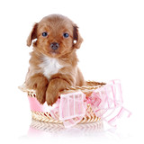 Puppy in a wattled basket with a pink bow.